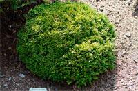 Chamaecyparis pisifera 'Tsucumo'