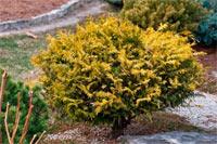 Chamaecyparis pisifera 'Vintage Gold'