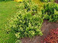 Chamaecyparis pisifera 'White Beauty'
