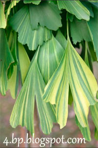 Ginkgo biloba 'California Sunset'
