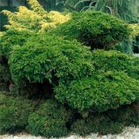 Juniperus X pfitzeriana 'Mint Julep'