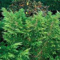 Juniperus X pfitzeriana 'Mordigan Gold'