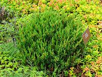 Juniperus communis 'Anna Maria'