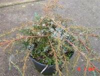 Juniperus communis 'Austria'