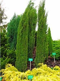 Juniperus communis 'Barmstedt'