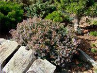 Juniperus communis 'Berkshire'
