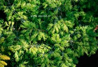 Juniperus communis 'Bernina'