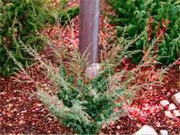 Juniperus communis 'Blamann'