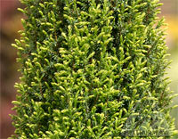 Juniperus communis 'Brynhfryd Gold'