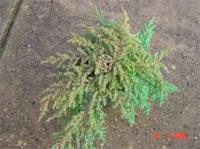 Juniperus communis 'Greenmantle'