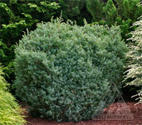 Juniperus communis 'Haverbeck'