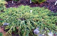 Juniperus communis 'Hornibrook's Gold'