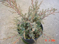 Juniperus communis 'Mona Starhadder'