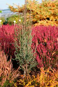 Juniperus communis 'Norwegen'