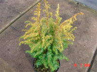 Juniperus communis 'Schneverdingen Gold' (syn. 'Golden Showers')