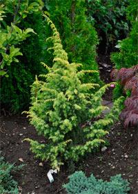 Juniperus communis 'Schneverdingen Goldmachangel'