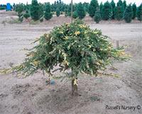 Juniperus communis 'Spotty Spreader'