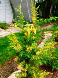 Juniperus communis 'Tage Lundell'