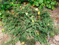 Juniperus communis 'Winsor Gem'