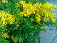 Juniperus conferta 'Golden Wings'