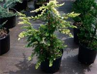 Juniperus conferta 'Hi Kari'