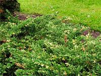 Juniperus davurica 'Expansa Variegata'