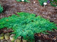 Juniperus davurica 'Leningrad'