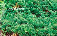 Juniperus horizontalis 'Douglasii'