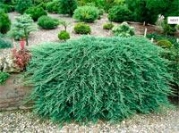 Juniperus horizontalis 'Glacier'