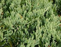 Juniperus horizontalis 'Glauca' (syn. J. horizontalis 'Wiltonii')