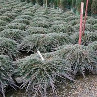 Juniperus horizontalis 'Icee Blue' (syn. 'Monber')