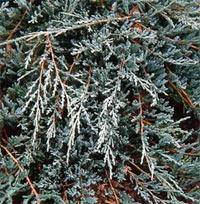Juniperus horizontalis 'Jade River'
