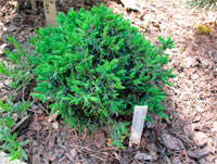 Juniperus horizontalis 'Kopenica'