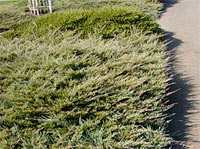 Juniperus horizontalis 'Plumosa'
