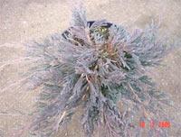Juniperus horizontalis 'Prostrata' (J. sabina Prostrata)