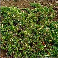 Juniperus horizontalis 'Villa Marie'