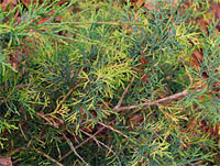 Juniperus media 'Blue and Gold'