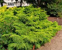 Juniperus media 'Gold Star'