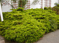 Juniperus media 'Mordighan Gold'