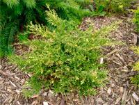 Juniperus pfitzeriana 'Filip's Wai Momi'
