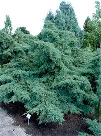 Juniperus pfitzeriana 'Glauca'