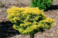 Juniperus pfitzeriana 'Gold Star'