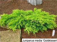 Juniperus pfitzeriana 'Goldkissen'