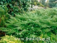 Juniperus pfitzeriana 'Pfitzeriana Compacta'
