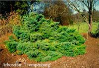 Juniperus pfitzeriana 'Pfitzeriana Glauca'