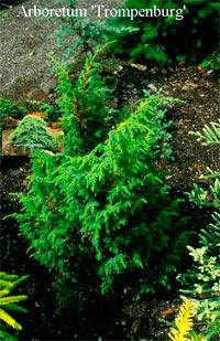 Juniperus pingii 'Wilsonii'