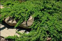 Juniperus procumbens 'Bonin Isles'