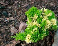 Juniperus procumbens 'Peve Spikkel'