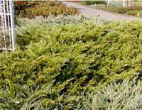 Juniperus sabina 'Aureovariegata'