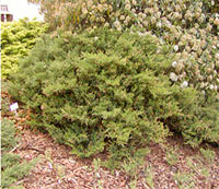 Juniperus sabina 'Femina'